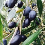 What's Cooking?…Preserving Olives