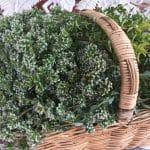 Oregano Harvest